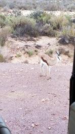 Springbok!