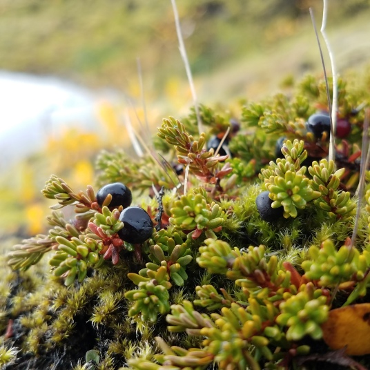 Wild crowberries, Iceland